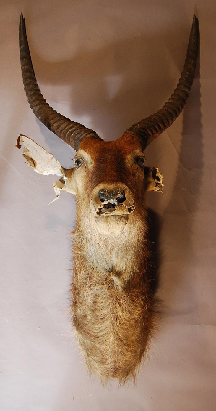 A mounted Waterbuck head-0