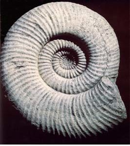 An English composition stone cast of a prehistoric fossilised Ammonite (large)-0