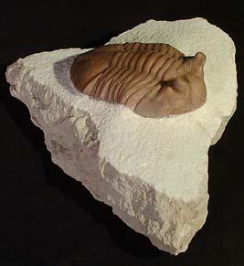 Trilobite 'Asaplaus Cornetus'-0