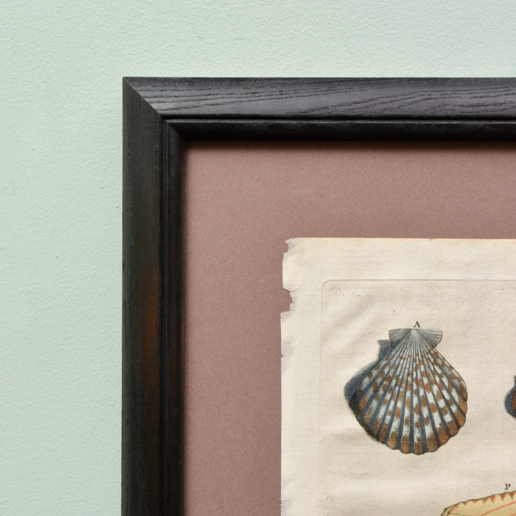 Original 18th Century engraving of Shells and Crustaceans, in old hand-colour.-114859