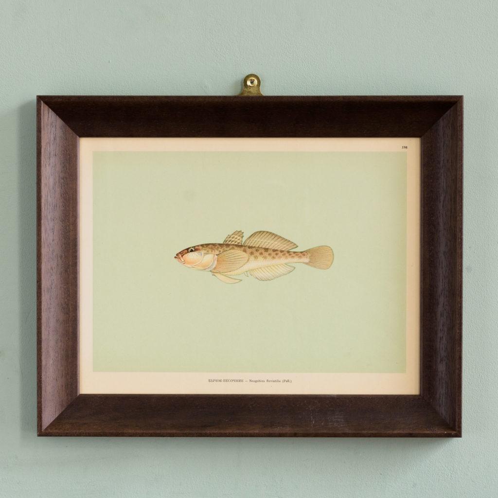 Soviet Era Fish Identification Prints-0