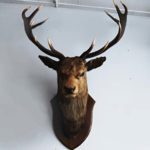 An 'Imperial' red deer stag's head-0