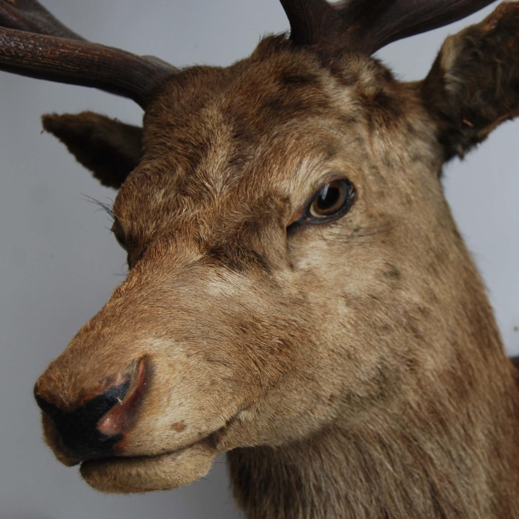 An 'Imperial' red deer stag's head-105853