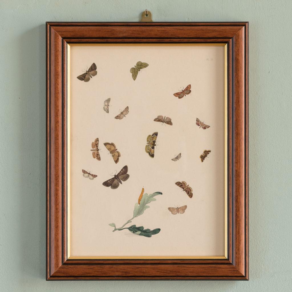 British Moths, original 19th century prints with hand-colour-0
