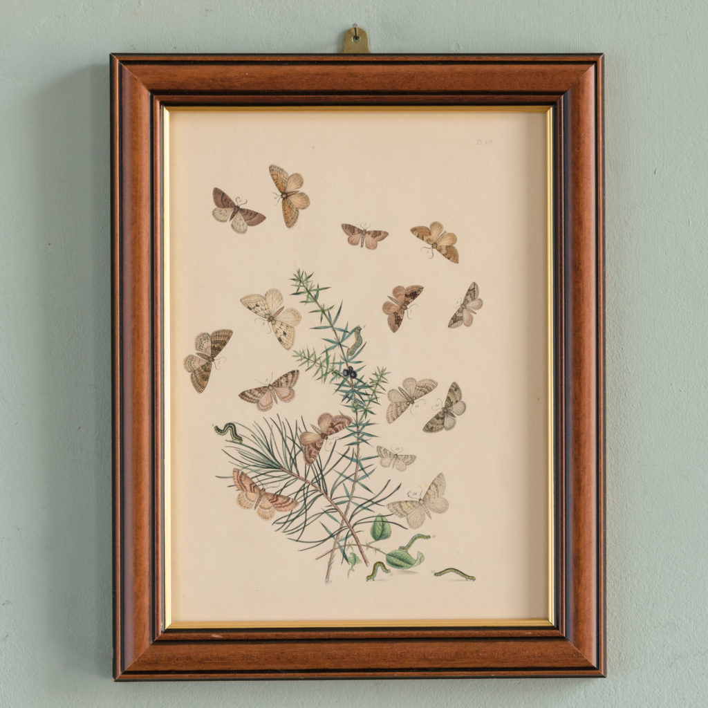 British Moths, original 19th century prints with hand-colour-0