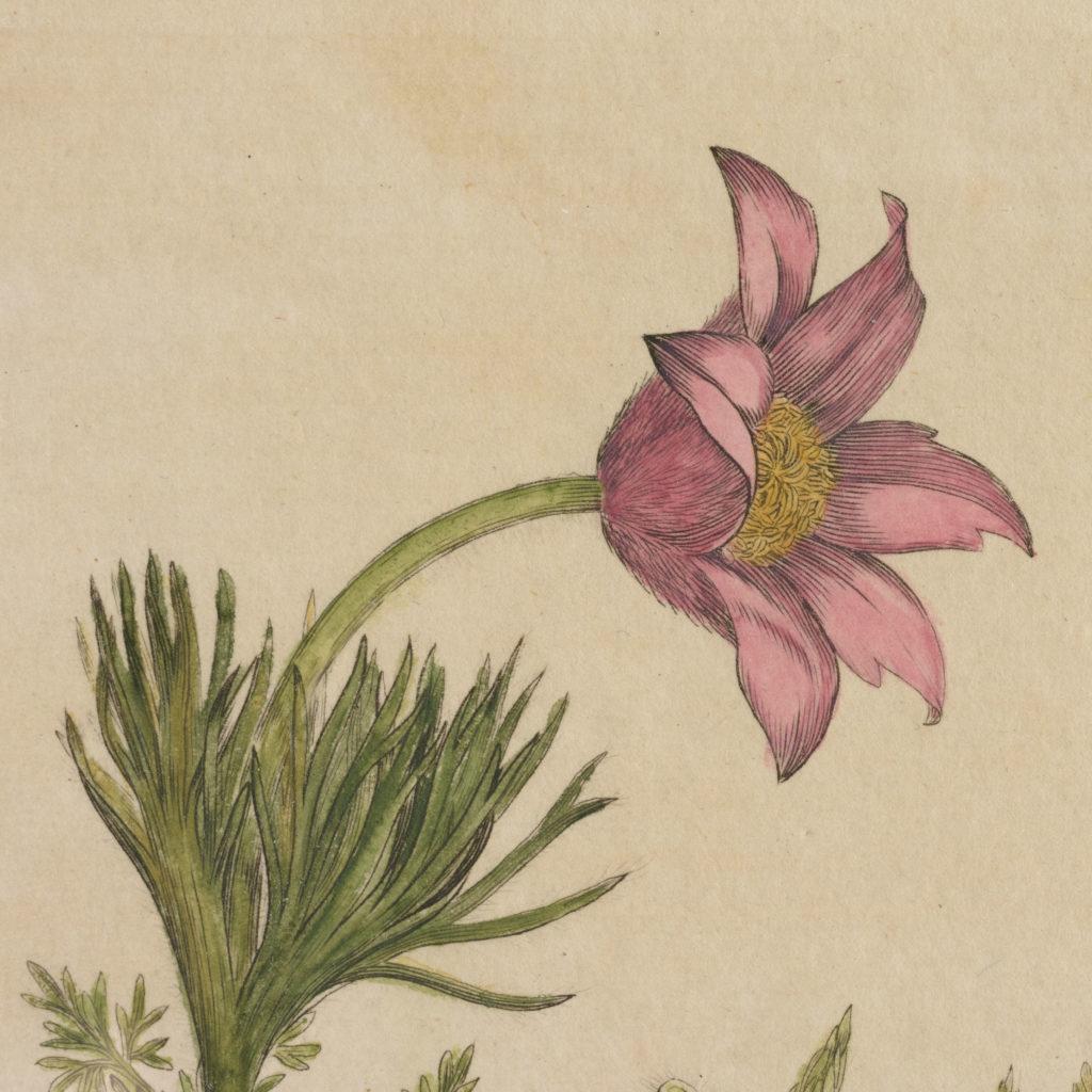 Medical Botany, original prints published 1792,-108002