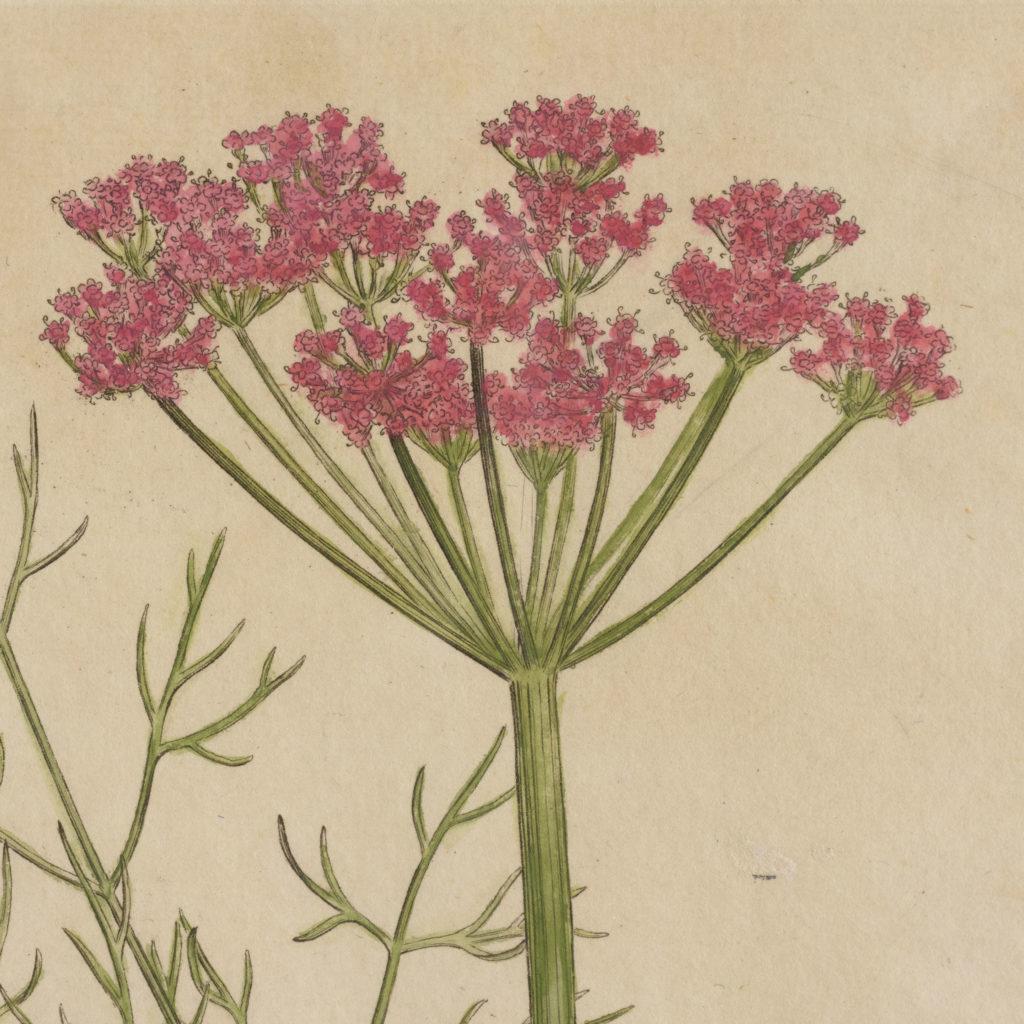 Medical Botany, original prints published 1792,-107994