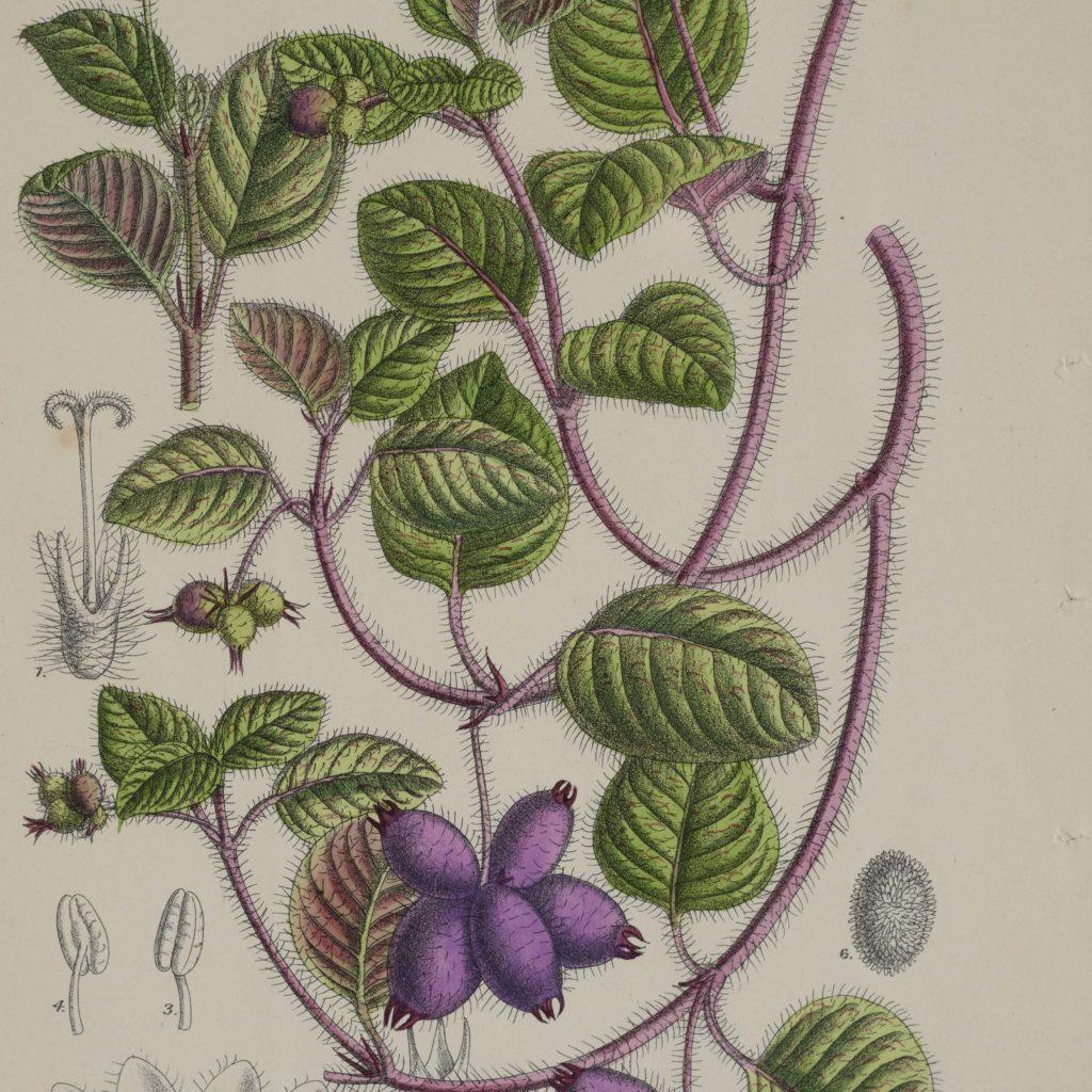 Curtis's Botanicals, published 1892-108676
