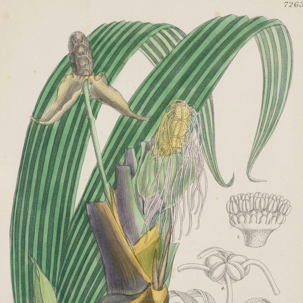 Curtis's Botanicals, published 1892-108629