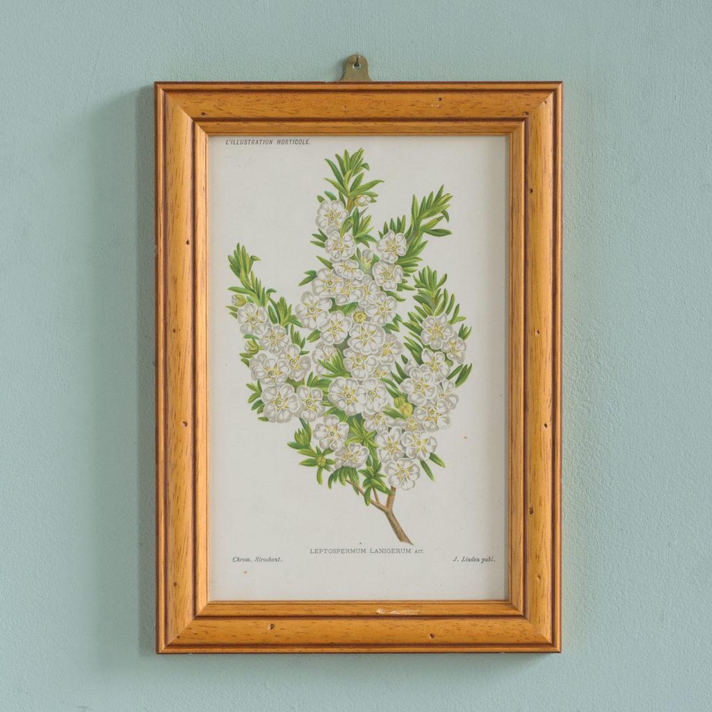 Linden botanicals,-0