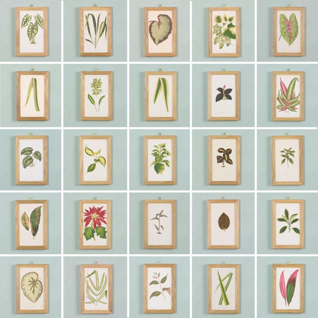 Nineteenth century botanical scientific illustrations,-113912