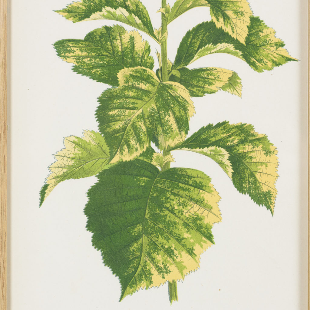 Nineteenth century botanical scientific illustrations,-113892