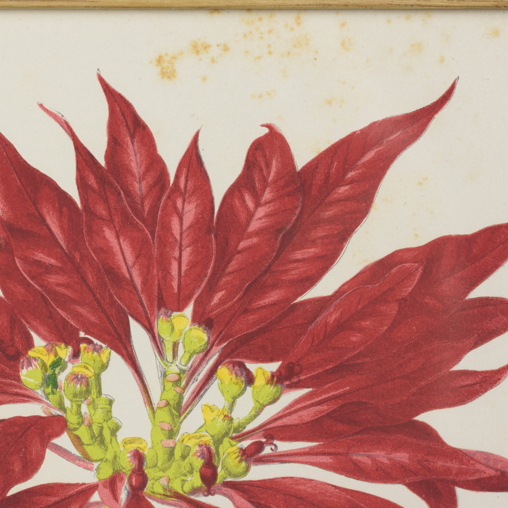 Nineteenth century botanical scientific illustrations,-113877