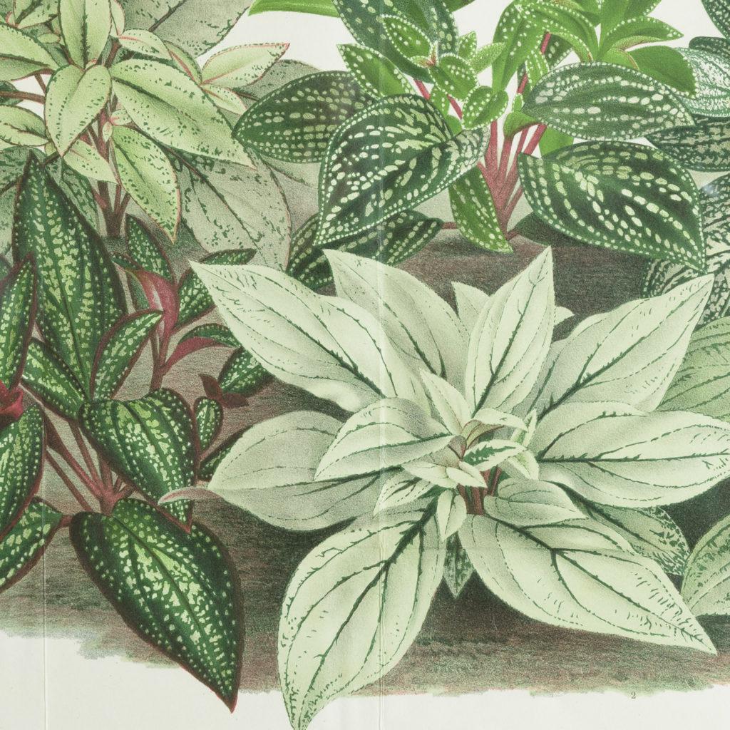 Original chromolithograph botanical prints,-113456