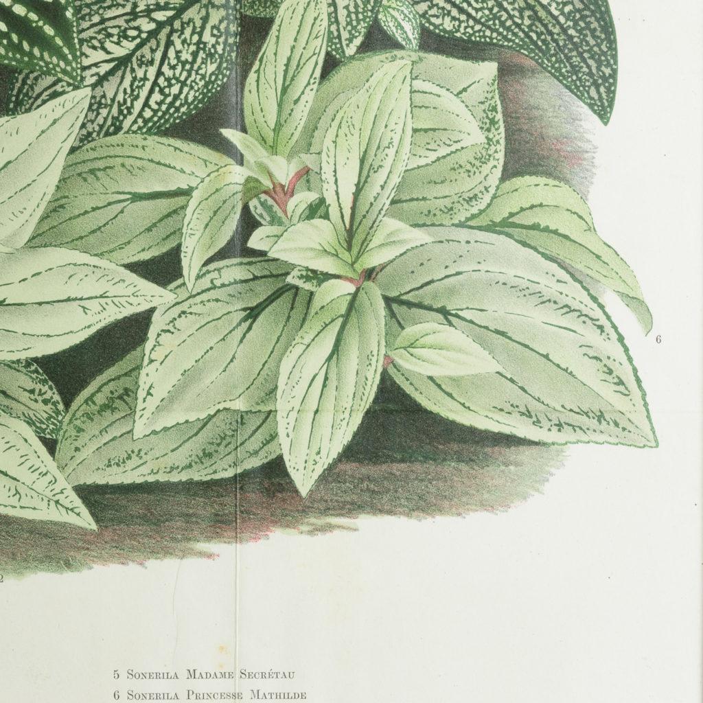 Original chromolithograph botanical prints,-113454