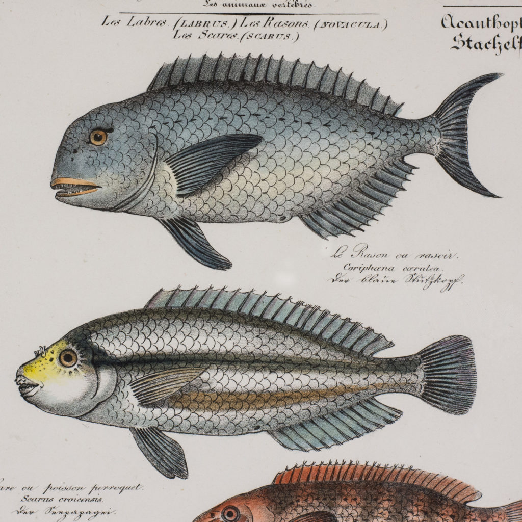 Poissons, original engraving from the 1840's-114793
