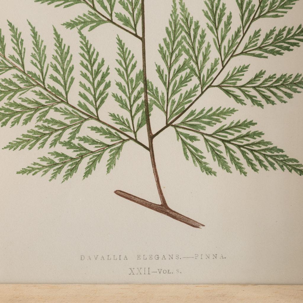 Ferns, 19th century scientific prints published c1867-114613