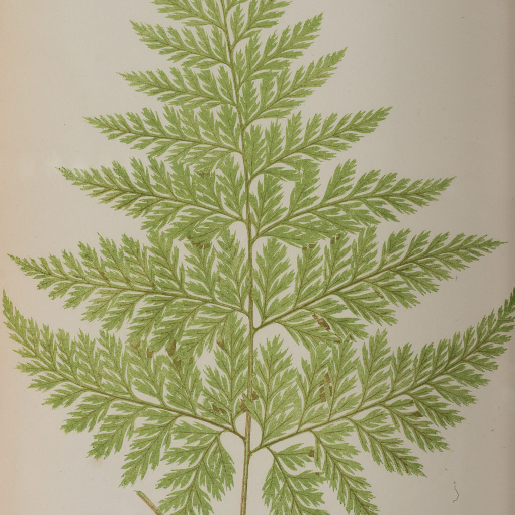 Ferns, 19th century scientific prints published c1867-114650
