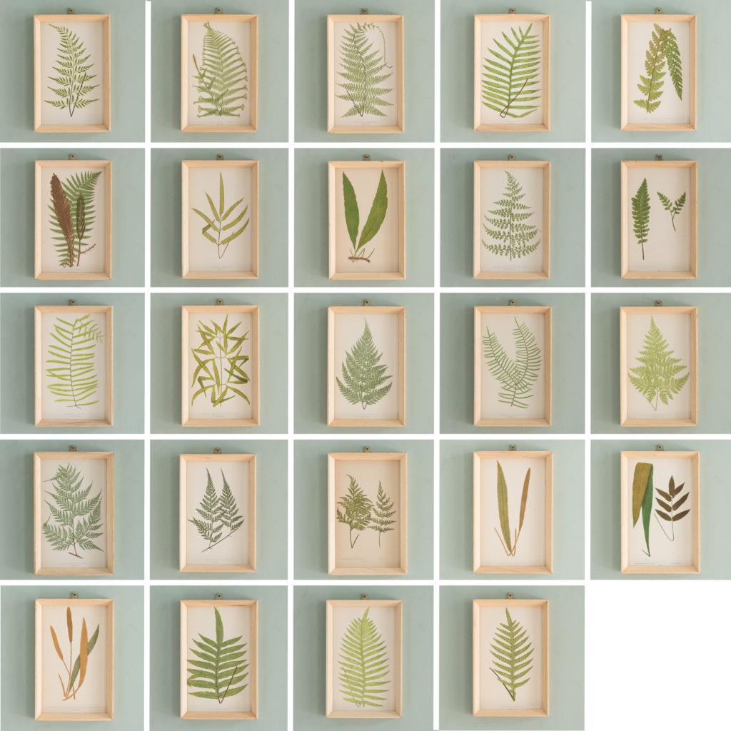 Ferns, 19th century scientific prints published c1867-114634