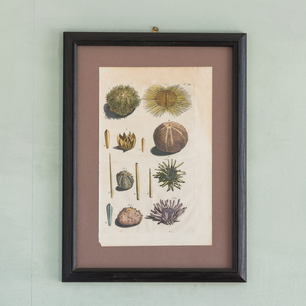 Original 18th Century engraving of Shells and Crustaceans, in old hand-colour.-0