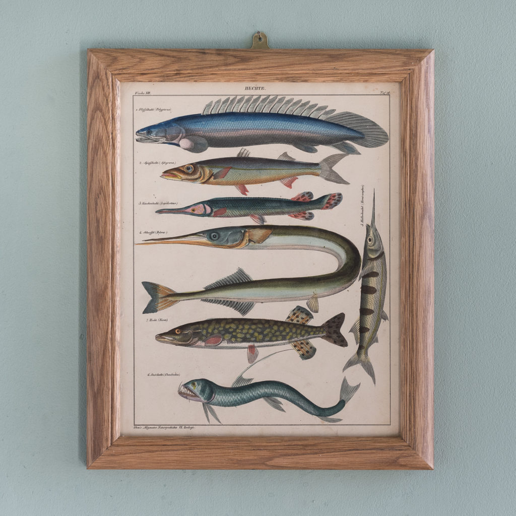 Fish. Hand-coloured steel engravings, based on the work of Lorenz Oken c1835-0