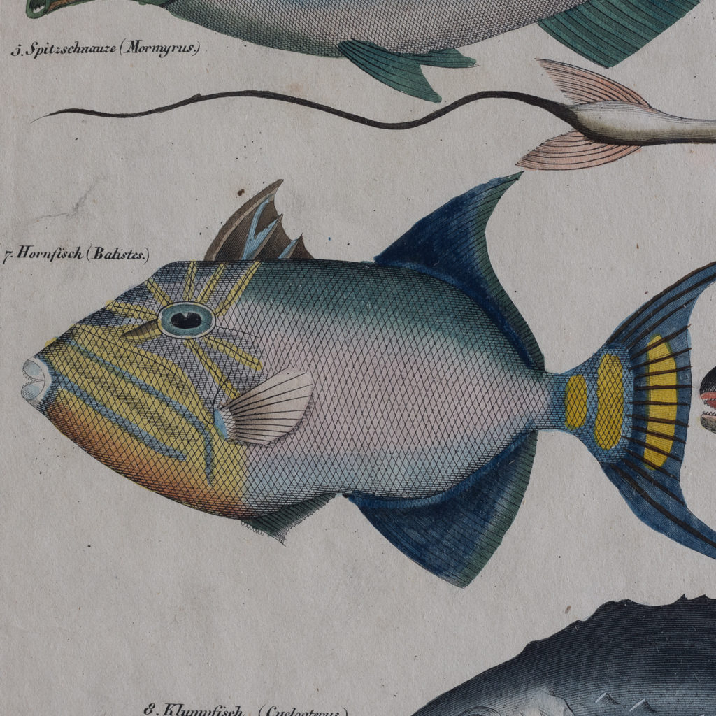 Fish. Hand-coloured steel engravings, based on the work of Lorenz Oken c1835-121279