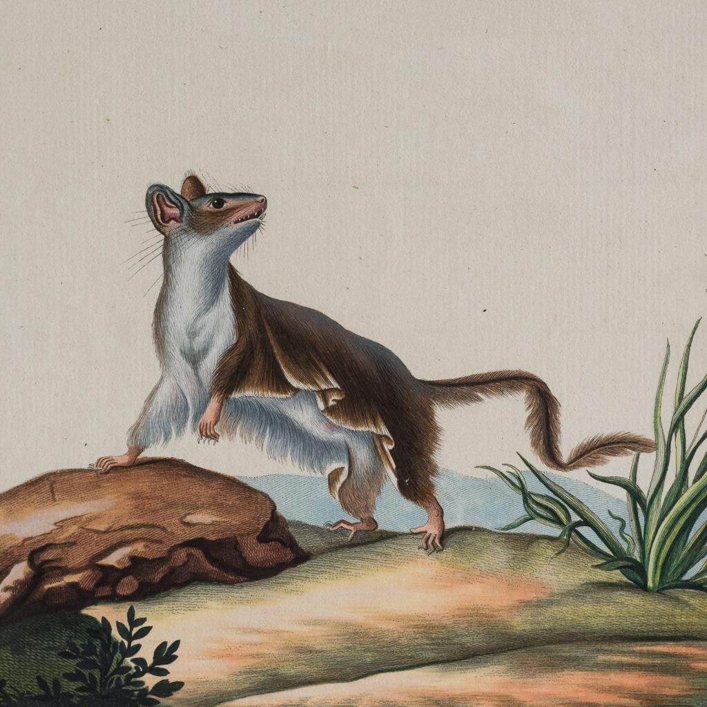 Phalangista pygmaea Geoffr