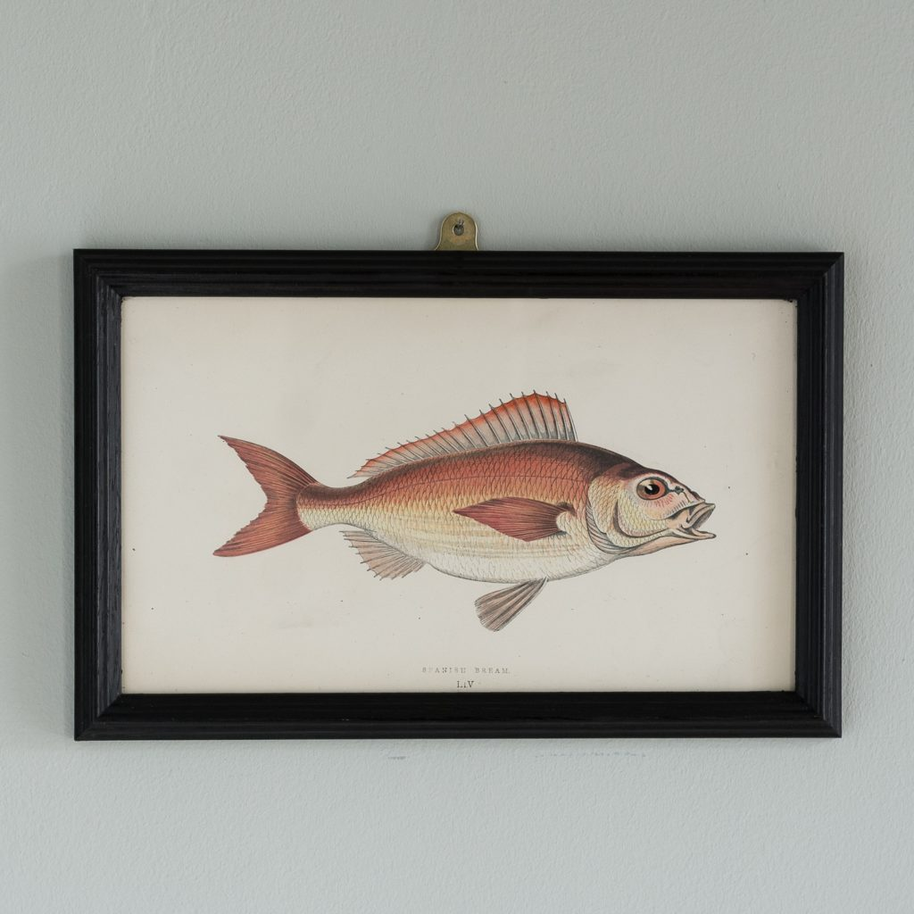 A Spanish Bream, based on the drawings of Cornish naturalist; Jonathan Couch