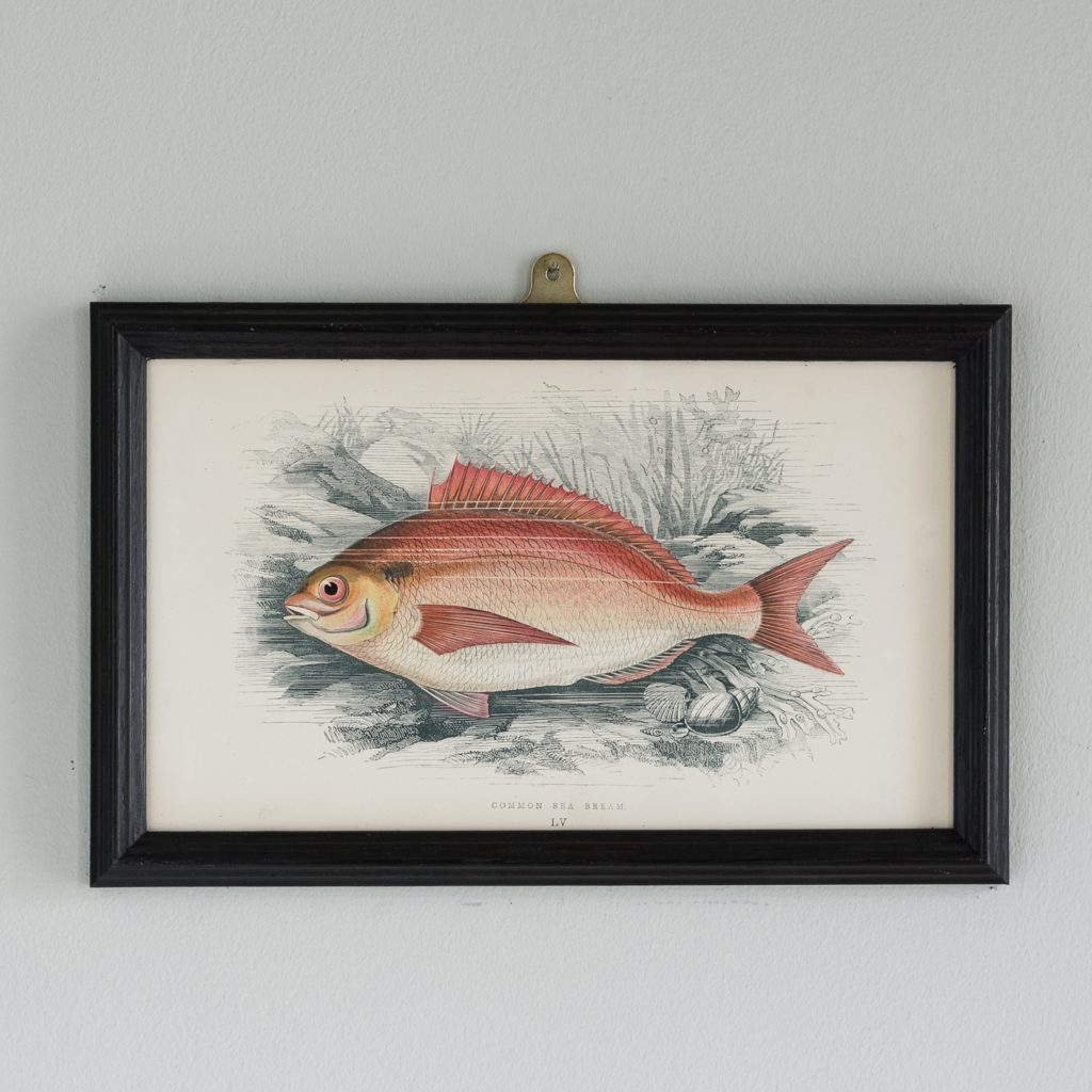 A Common Sea Bream, based on the drawings of Cornish naturalist; Jonathan Couch