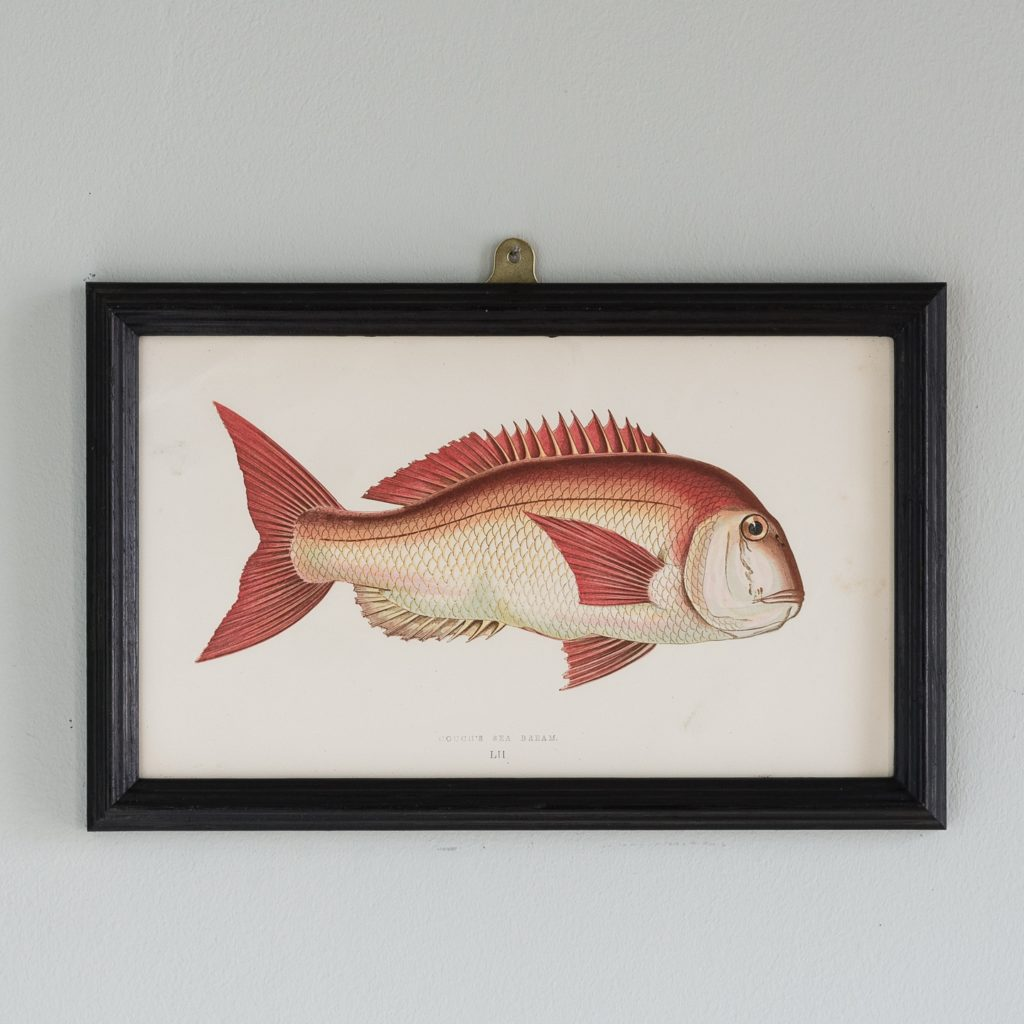 A Couch's Sea Bream, based on the drawings of Cornish naturalist; Jonathan Couch