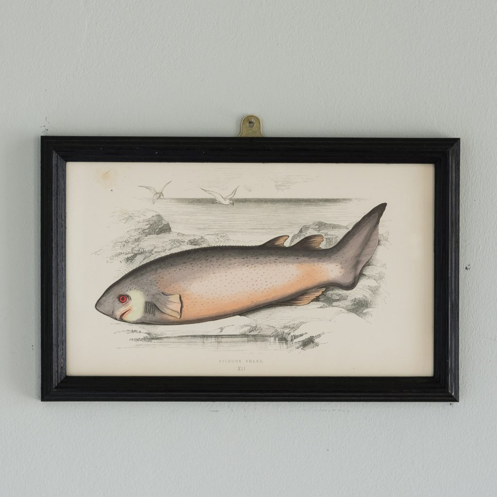 A Spinous Shark, based on the drawings of Cornish naturalist; Jonathan Couch