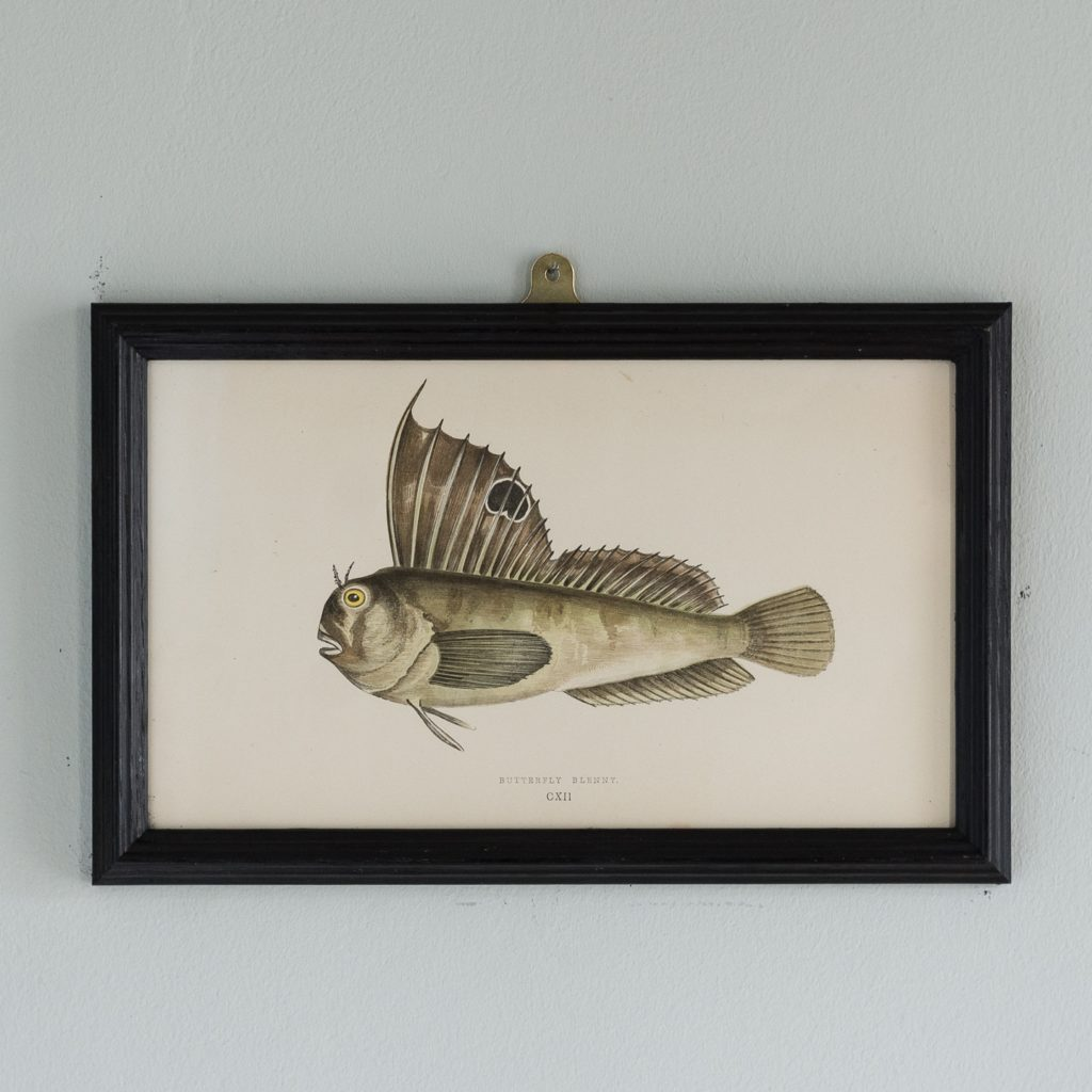 A Butterfly Blenny, based on the drawings of Cornish naturalist; Jonathan Couch