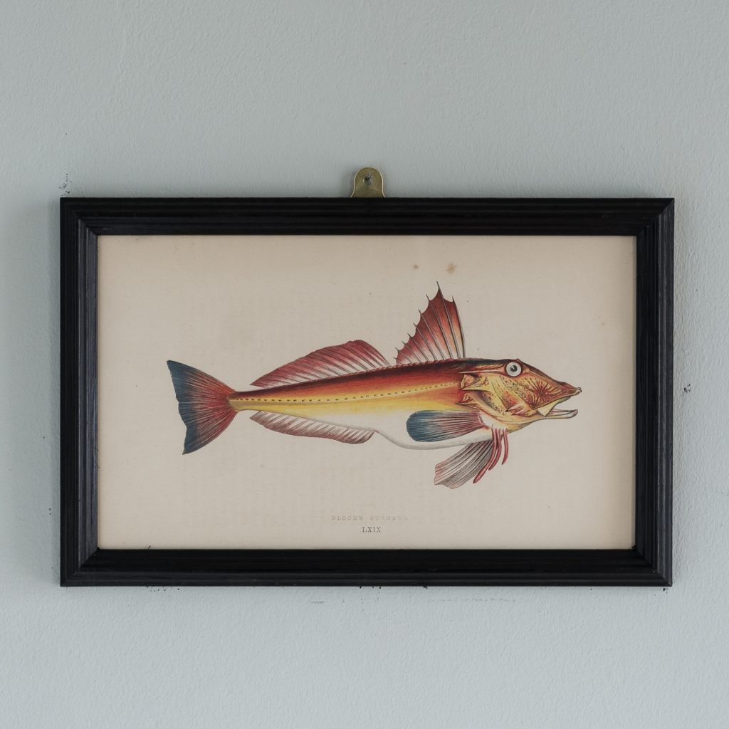 A Bloch's Gurnard, based on the drawings of Cornish naturalist; Jonathan Couch