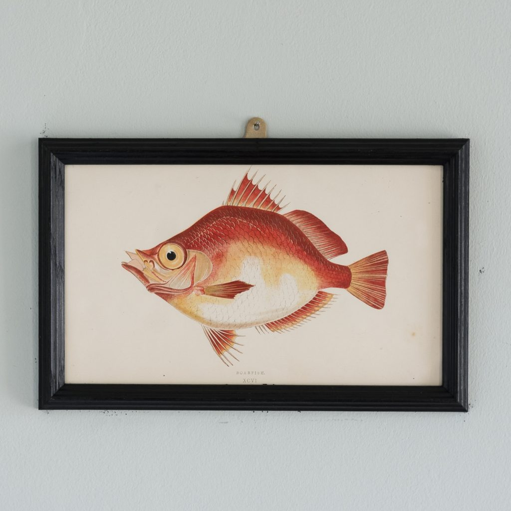 A Boarfish, based on the drawings of Cornish naturalist; Jonathan Couch
