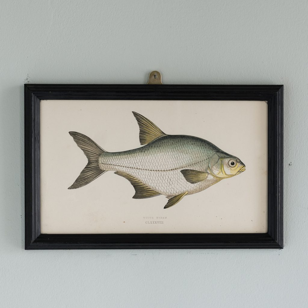 A White Bream, based on the drawings of Cornish naturalist; Jonathan Couch