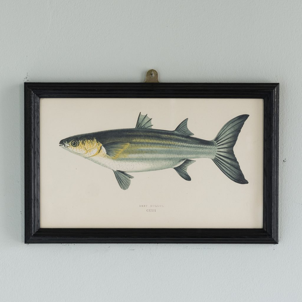 A Grey Mullet, based on the drawings of Cornish naturalist; Jonathan Couch