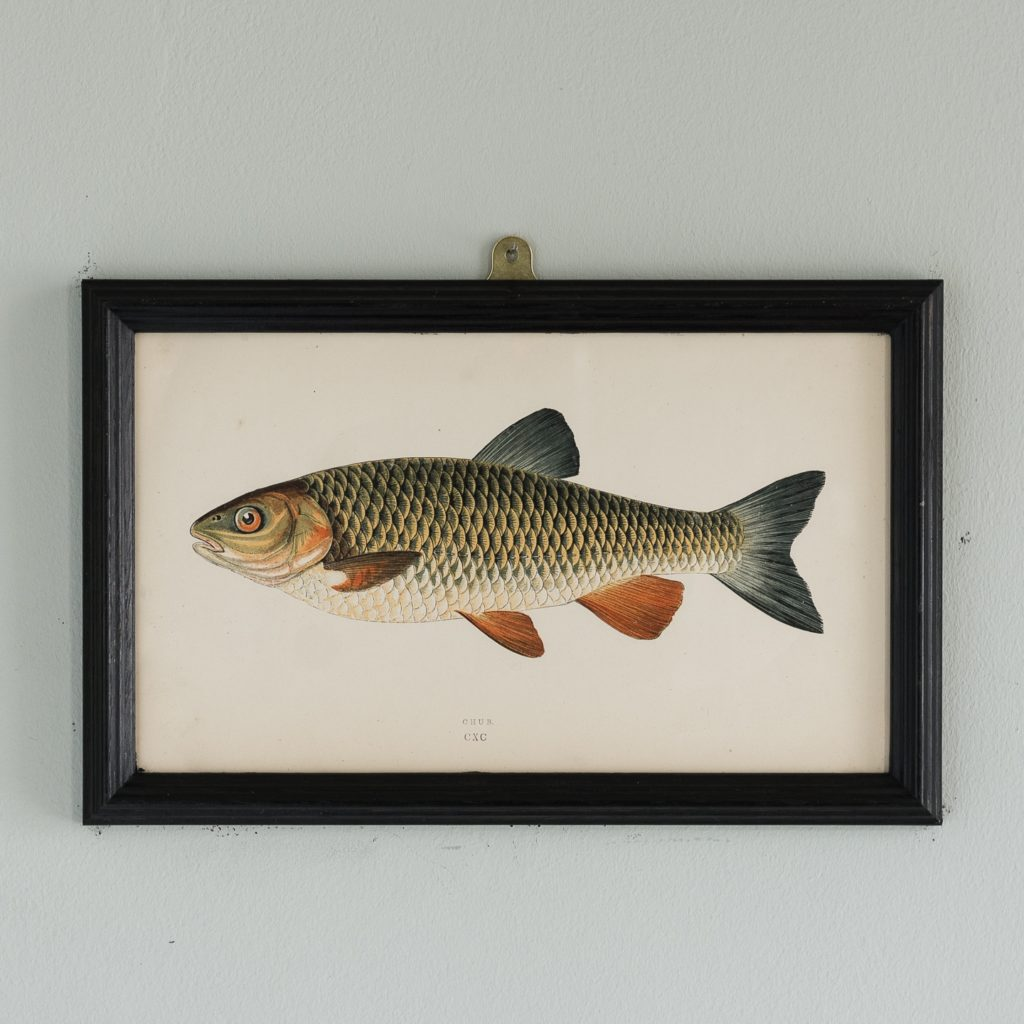 A Chub, based on the drawings of Cornish naturalist; Jonathan Couch
