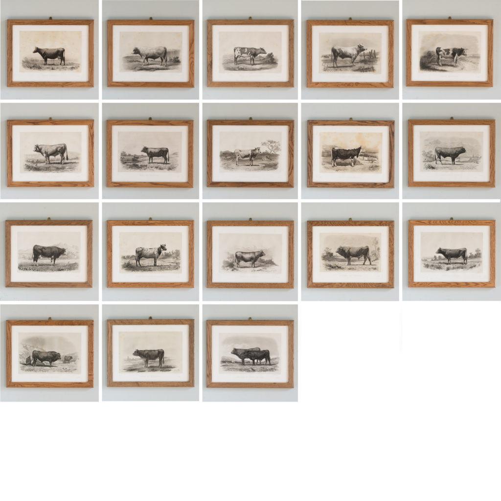 Les Races Bovines lithograph