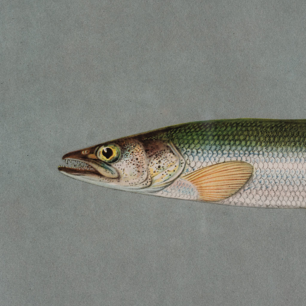 Soviet Era Fish Identification Prints-127482