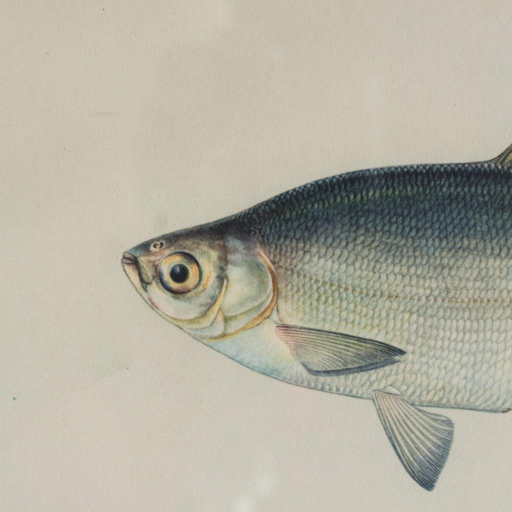Soviet Era Fish Identification Prints-127411