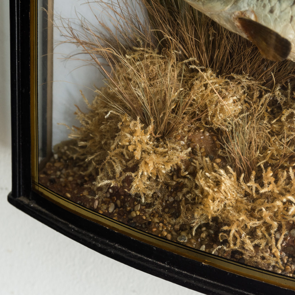 Victorian cased taxidermy Roach,-128493