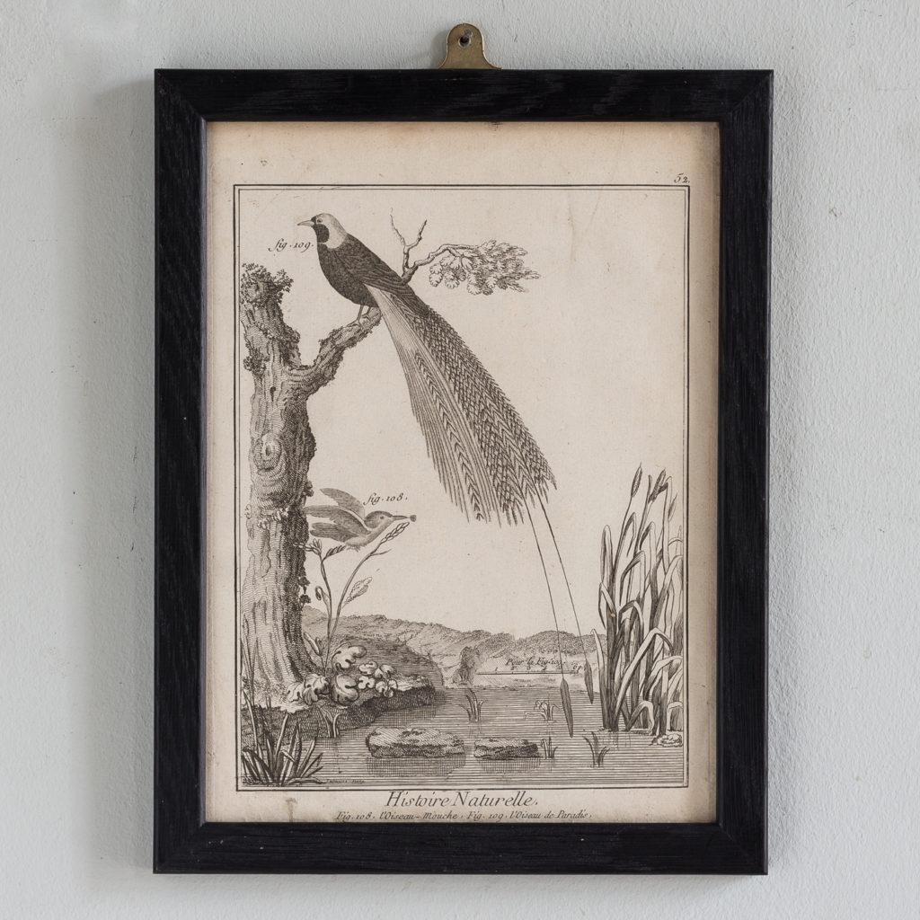 L'Oiseau Mouche. L'Oiseau de Paradis