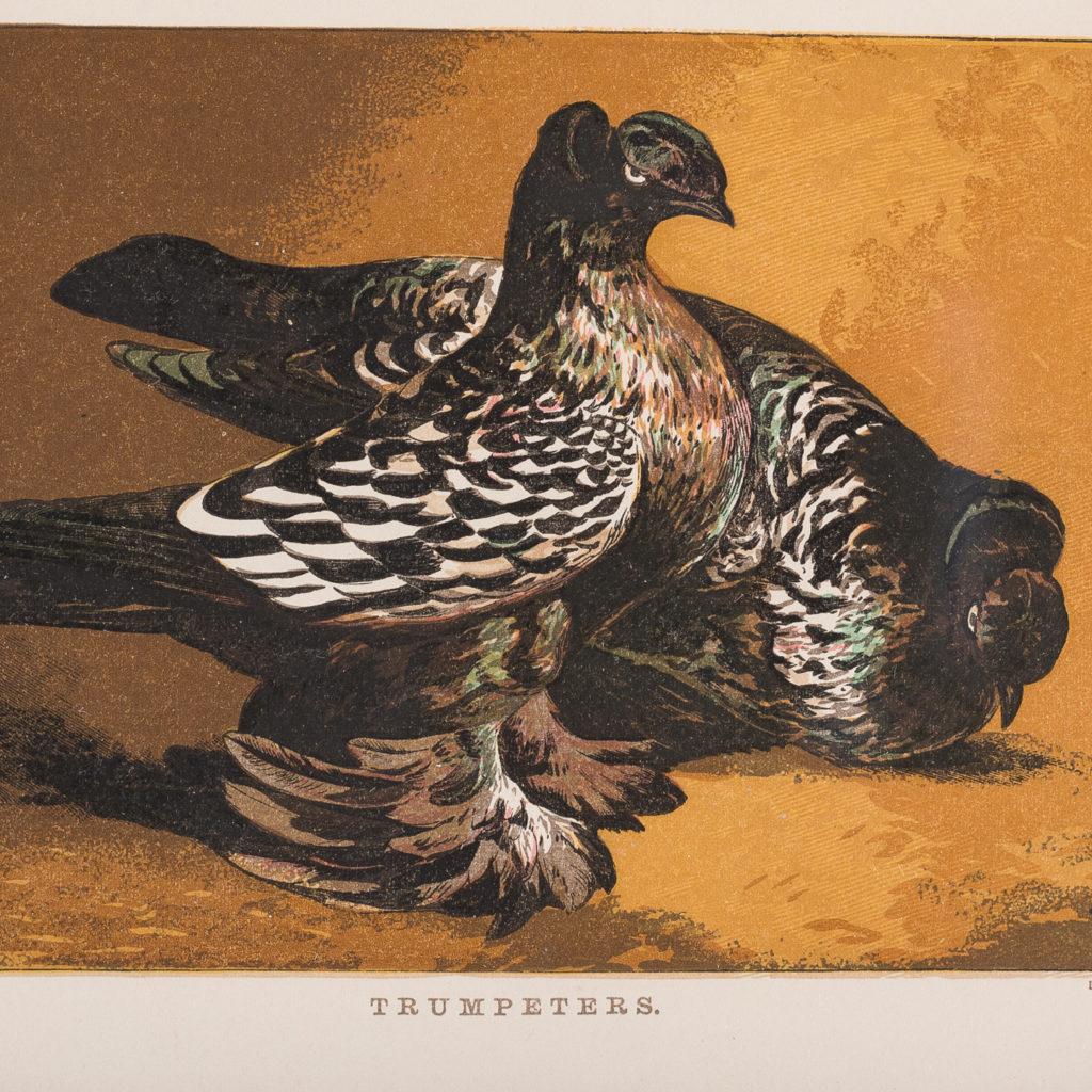 Nineteenth century framed pigeon chromolithographs,-130589