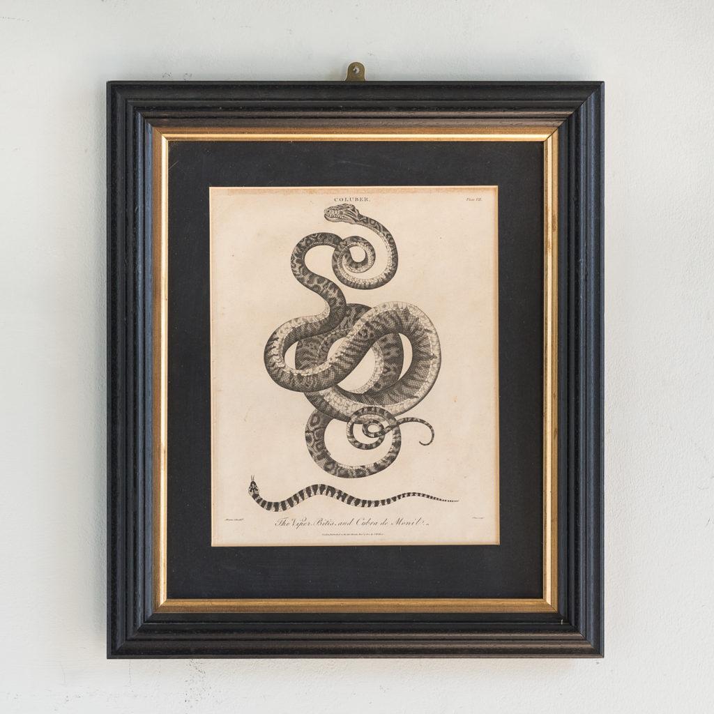 The Viper, Bitis, and Cobra de Monil
