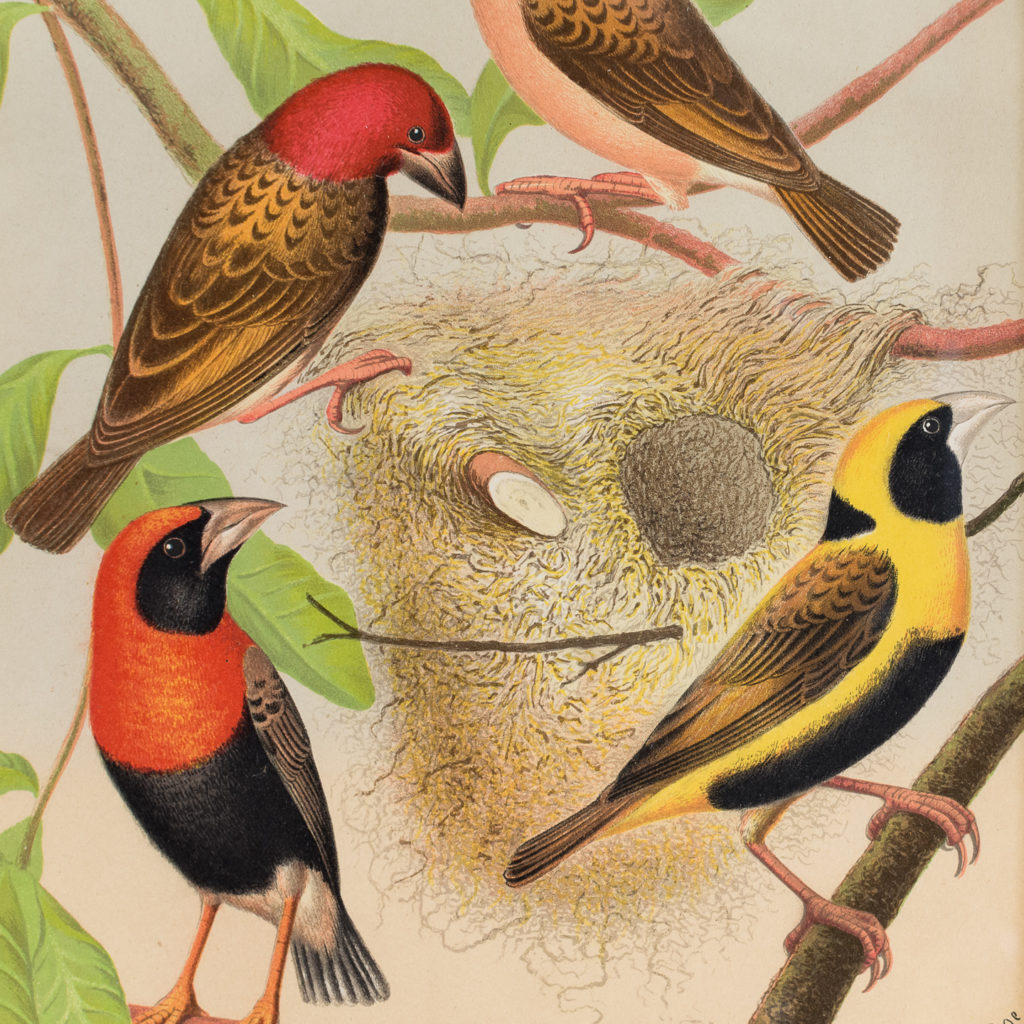 Red-Headed Weaver, Oryx, Red-Beaked Weaver, Napoleon Weaver