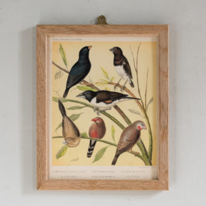 Canaries and Cage Birds