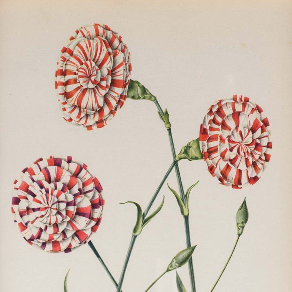 A group of old flaked and bizarre carnations