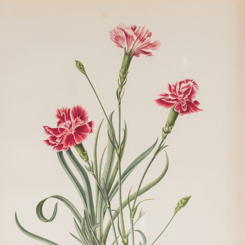 The Painted Lady carnations