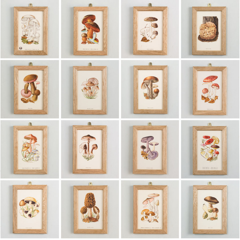 Edible and Poisonous Fungi lithographs by Rose Ellenby,