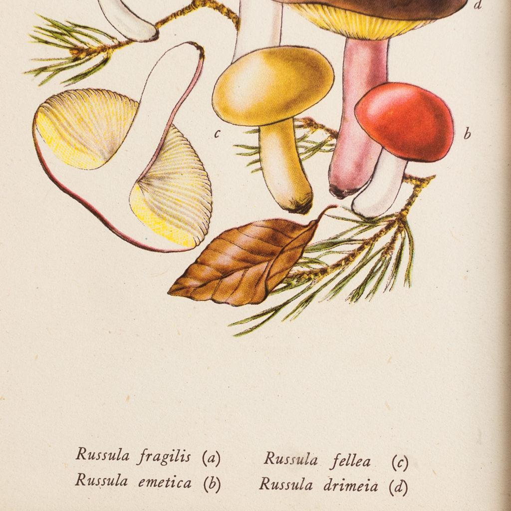 'Russula fragilis, Russula emetica, Russula fellea, Russula drimeia'.